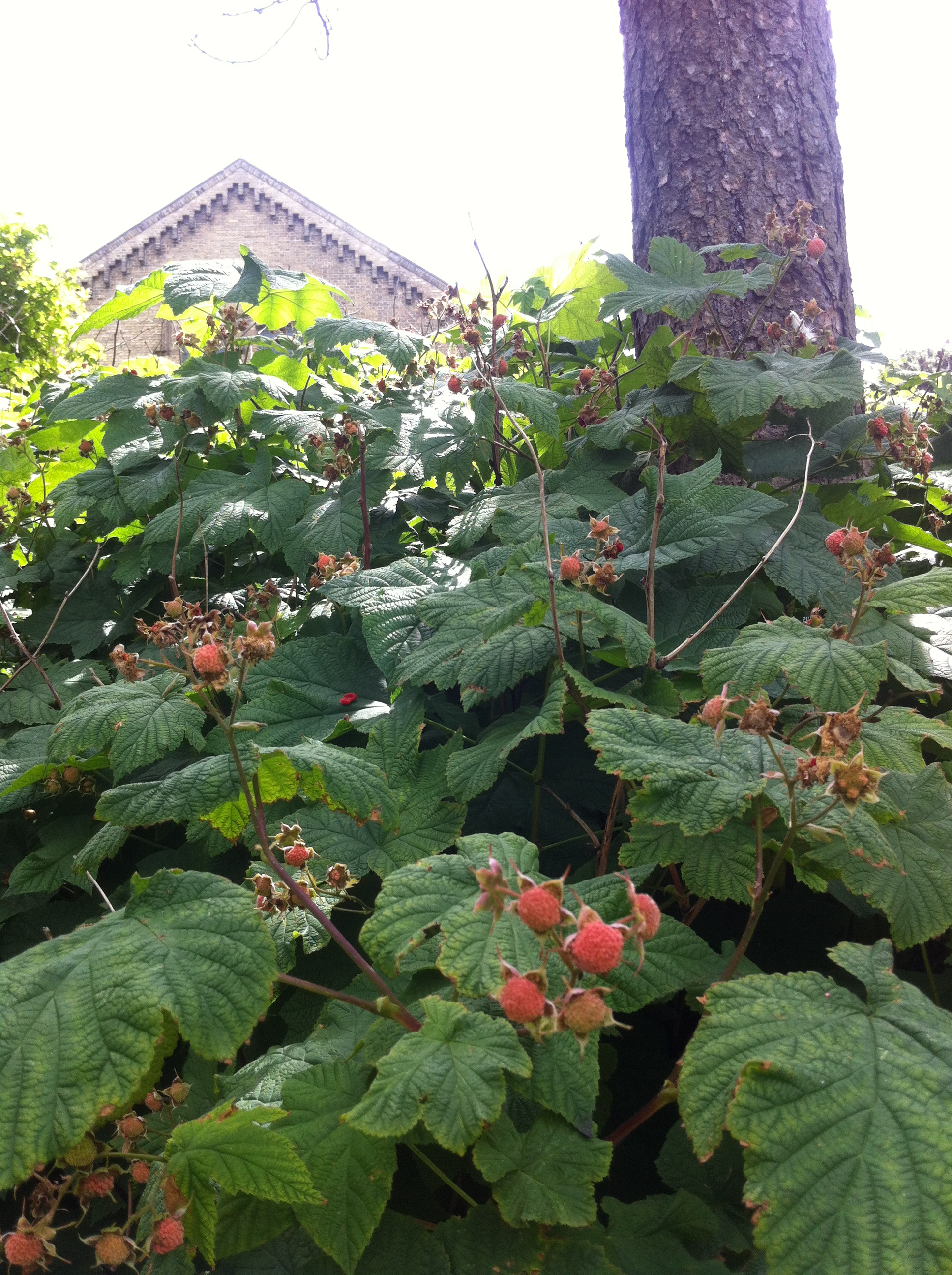 Brombær Botanisk Have