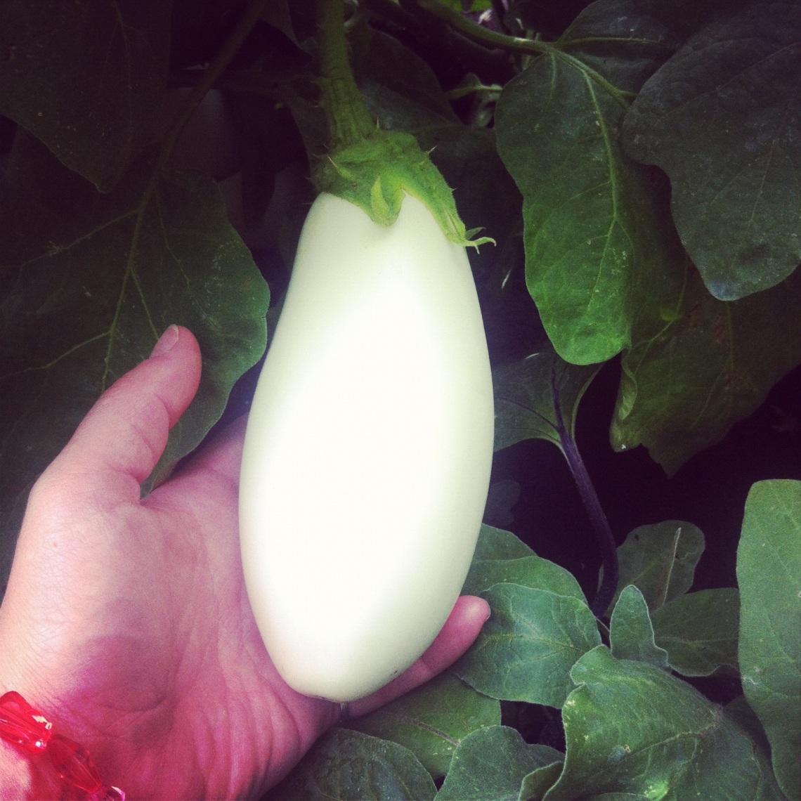 Hvid Aubergine