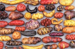Så mange og så flotte kan kartofler være!