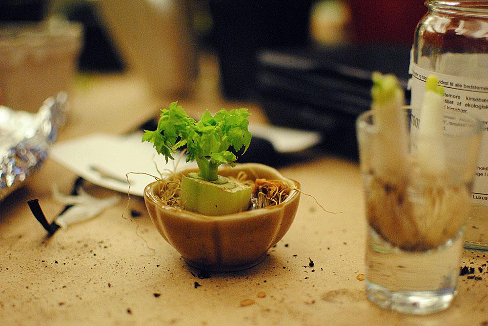 Regrow bladselleri - er på vej til en potte med muld!