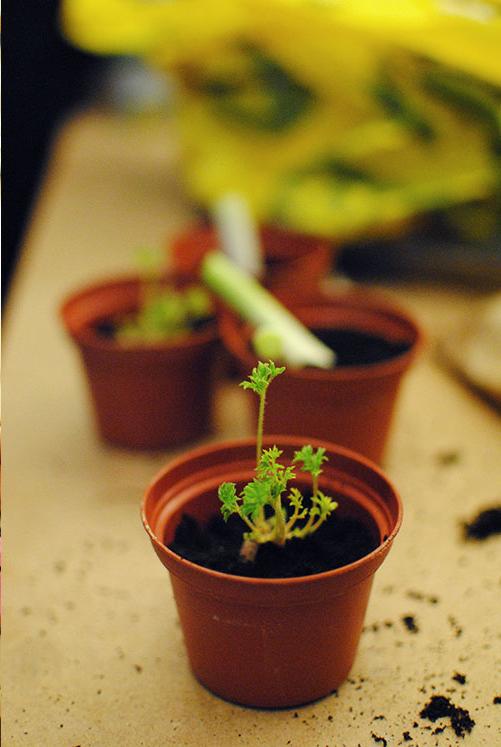 Gulerodstoppe i potter - den grønne top gror videre og kan bruges til salater.