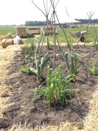 Genplantning af korn, porrer, hestebønner mv.