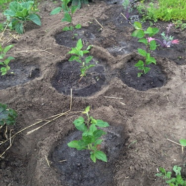 Baby apple trees