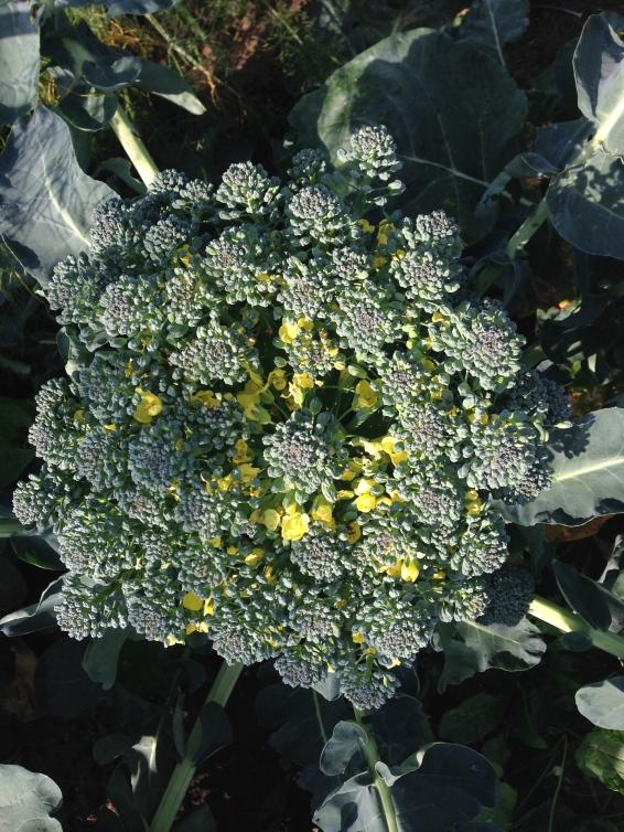 Broccoli muldpaanettet.dk
