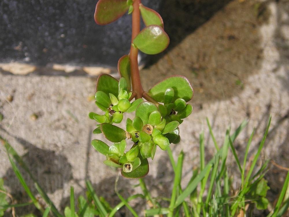 En af mine urtefavoritter, Portulak, groede i urtehaven og blev ofte brugt. En småblomstrende, enårig, sukkulent plante, med en anelse syrlighed og virkelig fin og knasende friskhed.