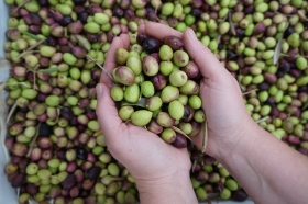 Olive harvest at Dar Taliba boarding school / SLOW - NordForsk: Marrakech, Marokko